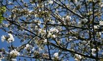 Kirschenblüten Jahn