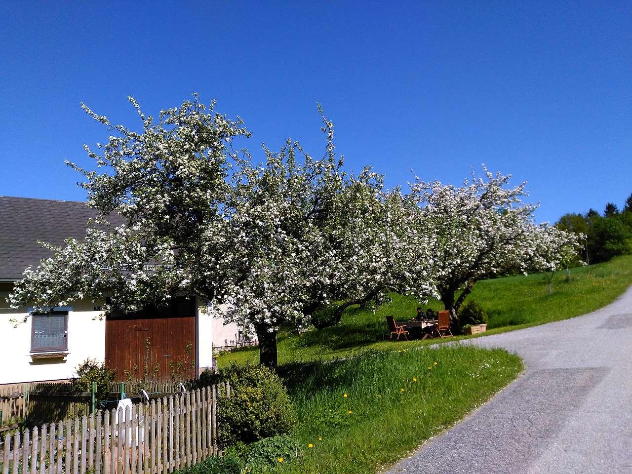 Apfelbaum Prem1