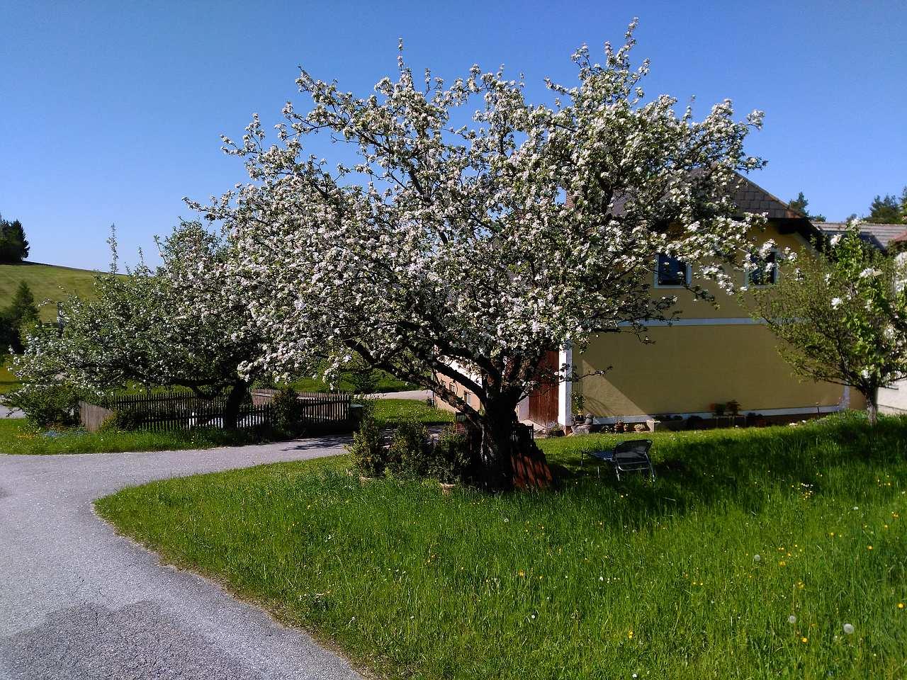 Apfelbaum Prem2