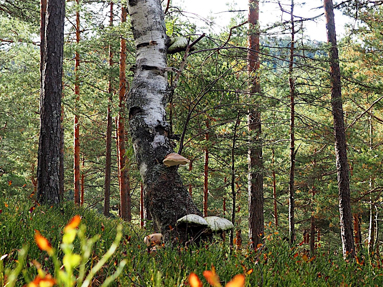 Maria Wiesmüller: Baum mit Pilzen