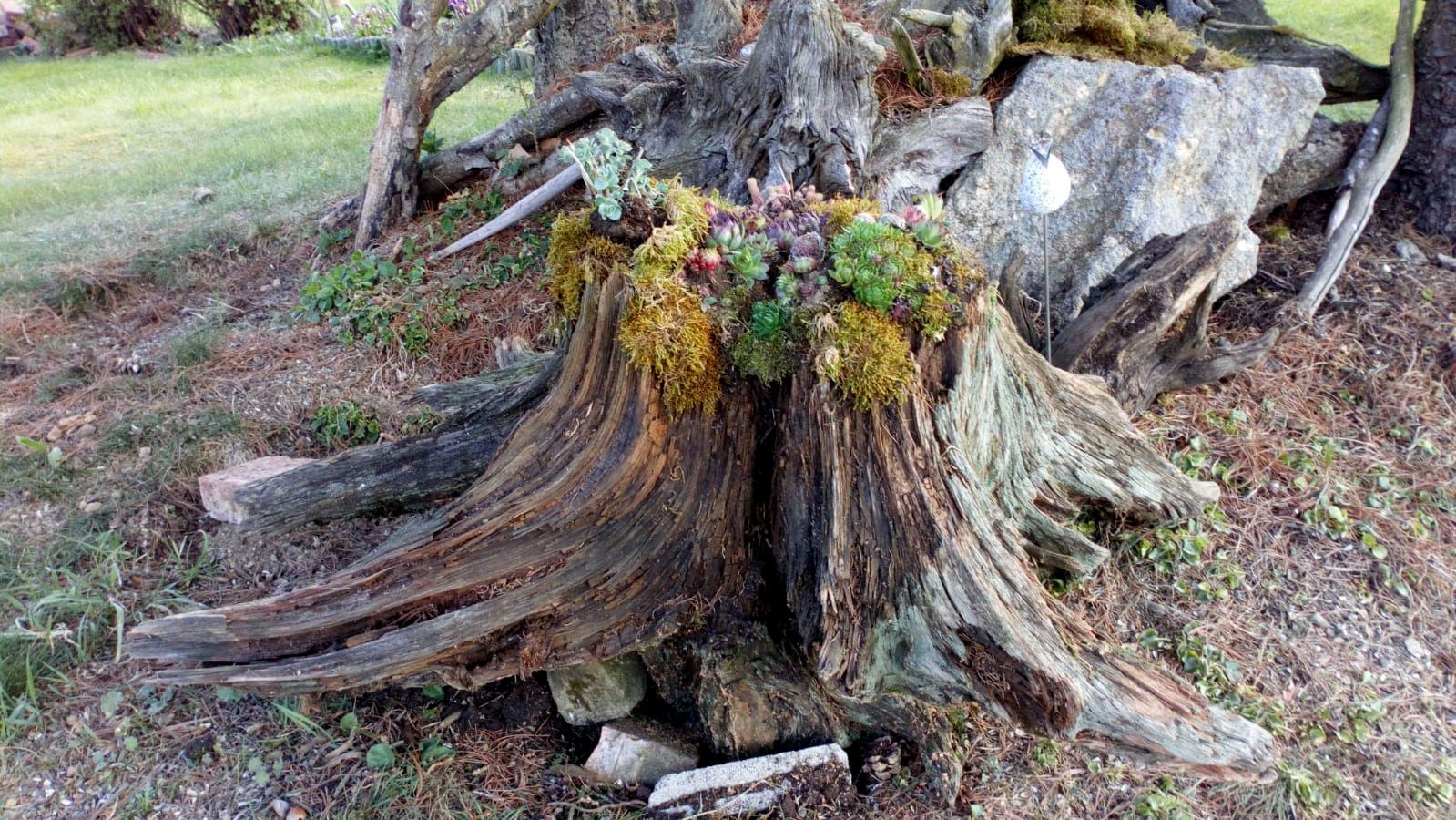 Binder Christl hat eine Baumstumpf bepflanzt