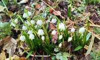 Christl Binder: Frühlingsknotenblumen
